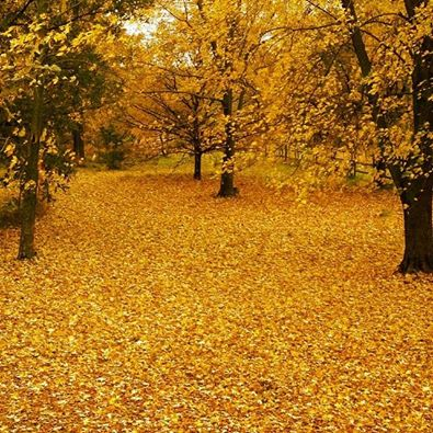 A beautiful blanket of leaves. It looks like a lot of raking is in my near future : )  Image taken with my iPhone